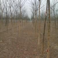4公分国槐树