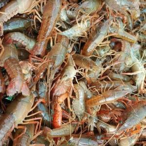 基圍蝦淡水養殖方法